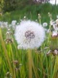Lovely dandelion Stock Image