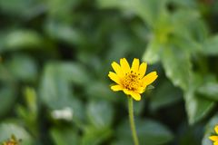 A lovely dandelion. A tiny yellow dandelion looks so cute among deep green grass in the morning Stock Photography
