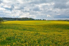Lovely dandelions on a field under a cloudy sky royalty free stock photo