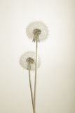 Lovely dandelions on white. Sepia Stock Images