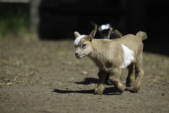 Lovely 13-day-old Baby Goat Stock Image