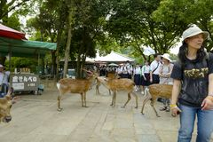 The lovely deers are walking on the ground in Nara Park. Nara Park is a public park located in the city of Nara, Japan stock image