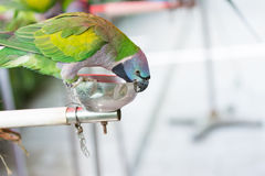 A lovely Derbyan parakeet parrot Royalty Free Stock Images