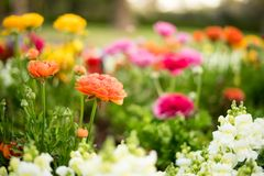 Lovely Different Coloured Flowers Closeup Landscape. Beautiful and lovely different coloured flowers on bokeh effect and landscape view taken on an early sunrise stock images