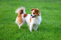 Lovely dog. The lovely dog on the lawn Stock Images