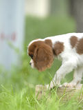 Lovely dog. Adorable King Charles Cavalier Spaniel playing in the grass Royalty Free Stock Images