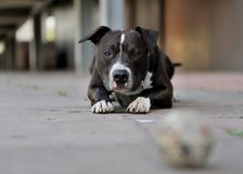 Lovely dog,American staffordshire terrier. Dog playing with a ball on the sidewalk is a funny situation stock images