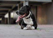 Lovely dog,American staffordshire terrier. Dog playing with a ball on the sidewalk is a funny situation stock photos