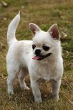 Lovely dog,Chihuahua Stock Images