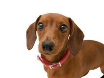 Lovely dog dachshund looking closeup isolated stock photography