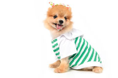 Lovely dog dressing. A shirt Royalty Free Stock Images