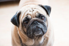 Lovely dog. For family and best friend Royalty Free Stock Images