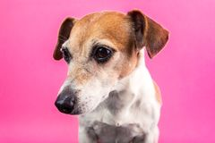Lovely dog Lack Russell terrier portrait on pink background. Party mood colors Stock Photo