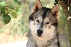 Lovely dog portrait. Siberian husky in natural light and composition Stock Photo