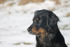 Sweet Hovawart Dog. Portrait of a beautiful black-brown Hovawart dog, sitting on a wintry meadow royalty free stock image