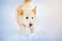 Free Lovely Dog Running In Winter Royalty Free Stock Photography - 49414477