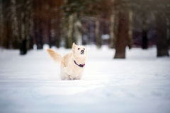 Lovely dog running in winter Stock Photography