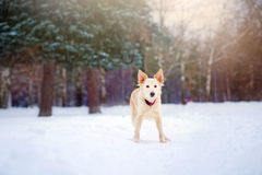Lovely dog running in winter Royalty Free Stock Photography