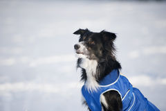 Lovely dog in snow looking Royalty Free Stock Photo