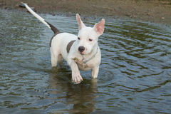 Lovely dog swimming Royalty Free Stock Image