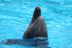 Lovely Dolphin With The Head Out Of The Water Royalty Free Stock Images