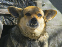 Lovely domestic dog with big teeth closeup royalty free stock photography
