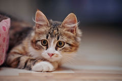 Lovely domestic multi-colored kitten Royalty Free Stock Images