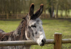 Lovely donkey Royalty Free Stock Photo