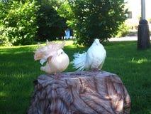 Lovely dove Stock Photos