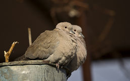 Lovely Doves. Two collared doves are cooing on a bucket Stock Image