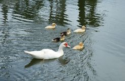 Lovely duck family. Lovely duck family swim in the lake stock images