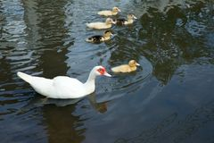 Lovely duck family. Lovely duck family swim in the lake Royalty Free Stock Images