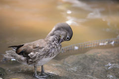 Lovely duck Royalty Free Stock Images