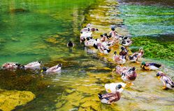 Lovely ducks. A group of lovely ducks in the clear green river Royalty Free Stock Photos