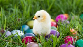 Lovely Easter Chick Stock Image