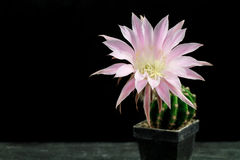 Lovely Echinopsis Stock Image