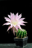 Lovely Echinopsis Royalty Free Stock Image