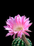 Lovely Echinopsis Stock Photography