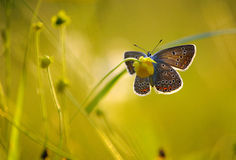 Lovely evening. Silver-studded blue butterfly sitting on the flower in the ambient light of the evening sun Stock Photography