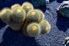Echinocactus grusonii, barrel cactus, Lanzarote. Lovely evening, just before the sunset with few Echinocactus grusonii, barrel cactuses, in the garden of royalty free stock images