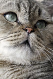 Lovely face of the cat. The facial features of the cat grow very lovely, is not merely eyes,Its nose and mouth are extremely important to the cat Stock Images