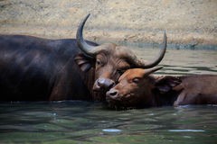 Lovely face of mother and young kid wild african buffalo in wate Stock Images