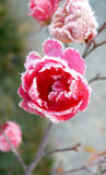 Lovely fairy flower under ice. Late rose flowers caught in frost Royalty Free Stock Image