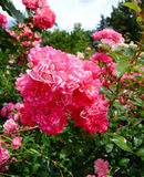 Lovely Fairy Roses Royalty Free Stock Photography