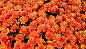Lovely Fall Mums (chrysanthemum) Royalty Free Stock Photography