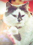 Lovely fatty cat in Instagram dark toned effect. Royalty Free Stock Photos