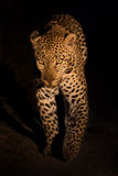 Lovely female leopard walking in nature night in darkness Royalty Free Stock Photos