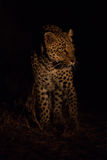 Lovely female leopard walking in nature night in darkness Stock Image