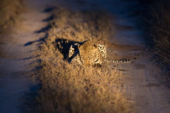 Lovely female leopard walking in nature night in darkness Royalty Free Stock Images