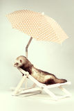 Lovely ferret portrait on beach chair in studio. Ferret portrait on beach chair in studio Royalty Free Stock Photo